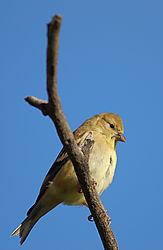 wellow_bird.jpg