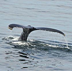 whale_tail_a.jpg