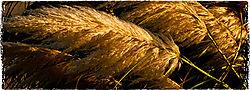 wheat-horz.jpg