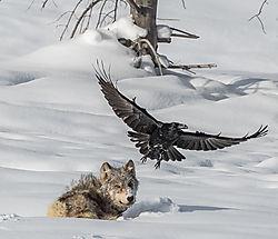 wolf_raven-1.jpg