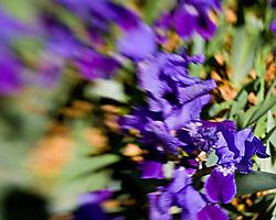 yard-iris-explode.jpg