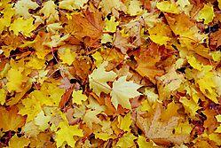 yellow_leaves_1.jpg