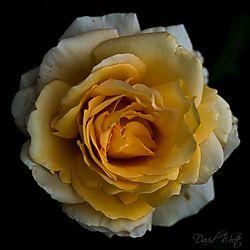 yellow_rose6.jpg