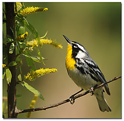 yellow_throated_warbler1.jpg