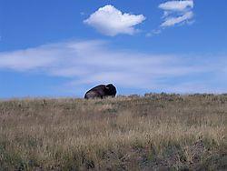 yellowstone_bison_crossing18.jpg