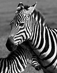 zebra-1-10.jpg