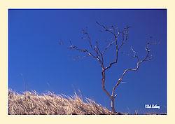 12017Sand-Dune-Tree1.jpg
