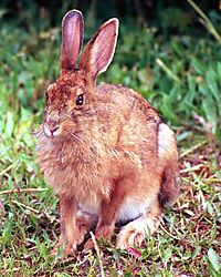 24481snow-shoe-hare.jpg