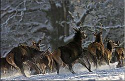 25635running-deers.jpg