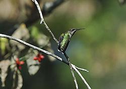 83063Ruby_Throat_hummingbird1.jpg