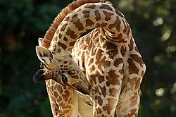 85111San_Diego_Zoo_-_GiraffeA1.jpg