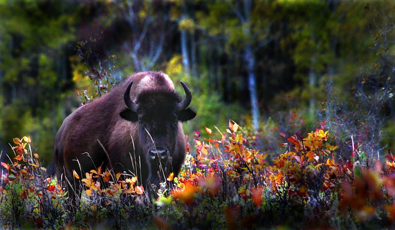 2JRamonPalacios-Bison