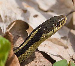 80297DSC3422-garter-snake.jpg