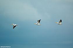 10342three-pelicans.jpg