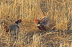 68292Male-Pheasants-fighting-3-6.jpg