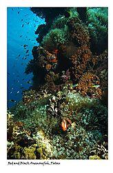 85423Red-and-Black-Anemonefish.jpg
