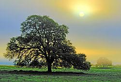 909711018-Oak_Trees_in_Fog1.jpg