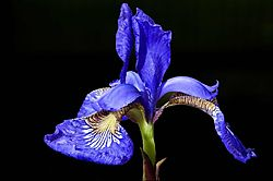 95968Sibirian_Iris-Blk.jpg