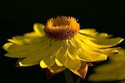 95968Yellow_Straw_Flower.jpg