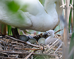 Swan_Buckhorn_LK_PFW0354_800px.jpg