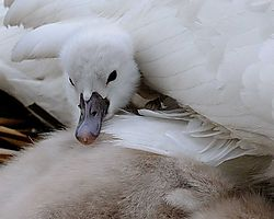 Swan_Lake_Orion_20080602_2522_PFW0540.jpg