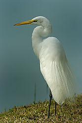 egret---web.jpg
