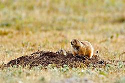 prairie-dogs.jpg