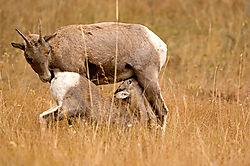 19248Big_horn_sheep_nursing_D2X1988a-800s-web.jpg