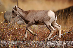 Baby-bighorn-at-play.jpg