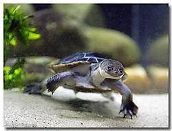 9965Snake_Necked_Turtle_DSC4936.jpg