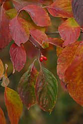 81192Leaves_and_fruits_DSC4371.jpg