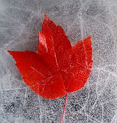 leaf-under-ice.jpg