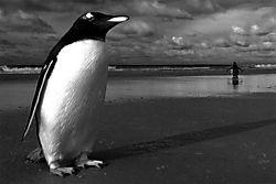 53699Gentile_Gentoo_Nico_Housen_Wildlife_2.jpg