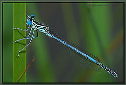 117672Blue_Damselfly-DSC_2994.jpg