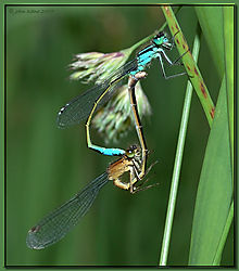 117672Blue_Damselfly_pair-DSC_3888.jpg