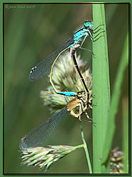 117672Blue_Damselfly_pair-DSC_3890.jpg