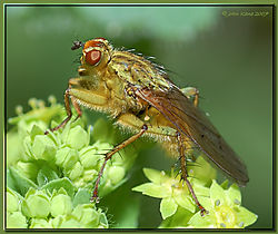 117672Fly_on_Ladys_Mantle-DSC_3692.jpg
