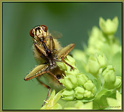 117672Fly_on_Ladys_Mantle_Supper-DSC_3957.jpg