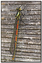 117672Large_Red_Damselfly_Immature-DSC_1107-01.jpg