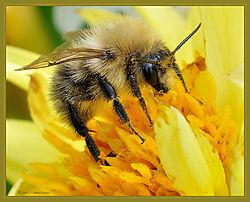 Bee_Dahlia_DSC_3454.jpg
