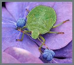 Bug_Shield_Green_DSC_3476.jpg