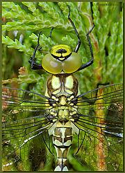 Dragonfly-JTK_D50_20080723_184458_DSC_6854.jpg