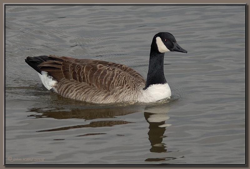 Canada_Goose-DSC_0276