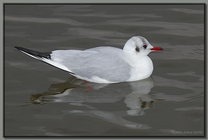 Gull-DSC_0320