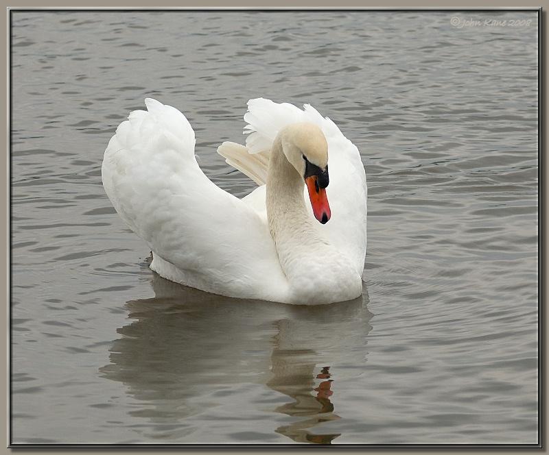 Mute_Swan-DSC_0302