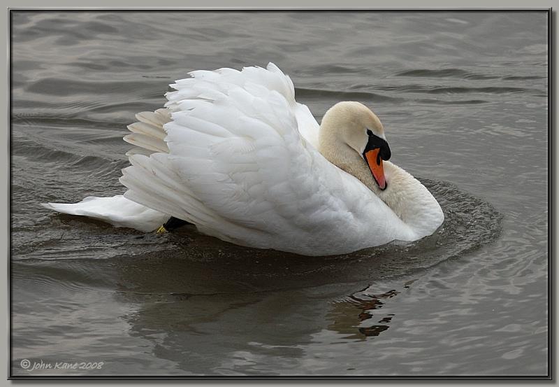 Mute_Swan-DSC_0313