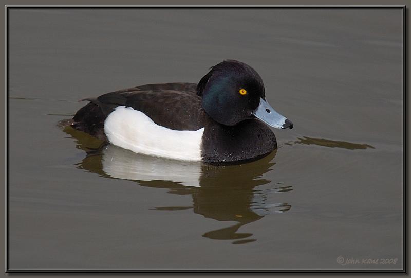 Tufted_Duck_Male-DSC_0337