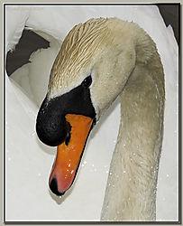 117672Mute_Swan_Portrait-DSC_1606-01.jpg