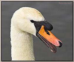 117672Mute_Swan_Portrait-DSC_2351-01.jpg