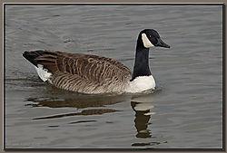 Canada_Goose-DSC_0276.jpg